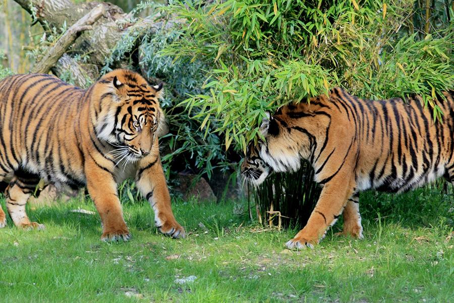 Zwei Tiger im Gehege des Zoo Osnabrück