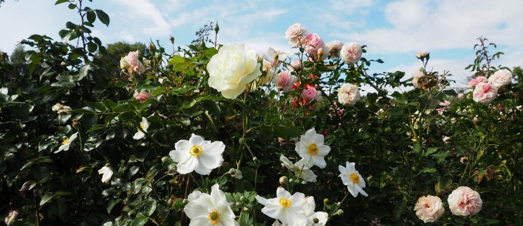 Rosen im Ippenburger Rosarium